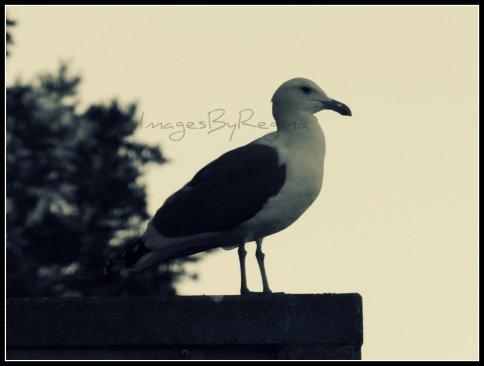 12.05.12.seagull