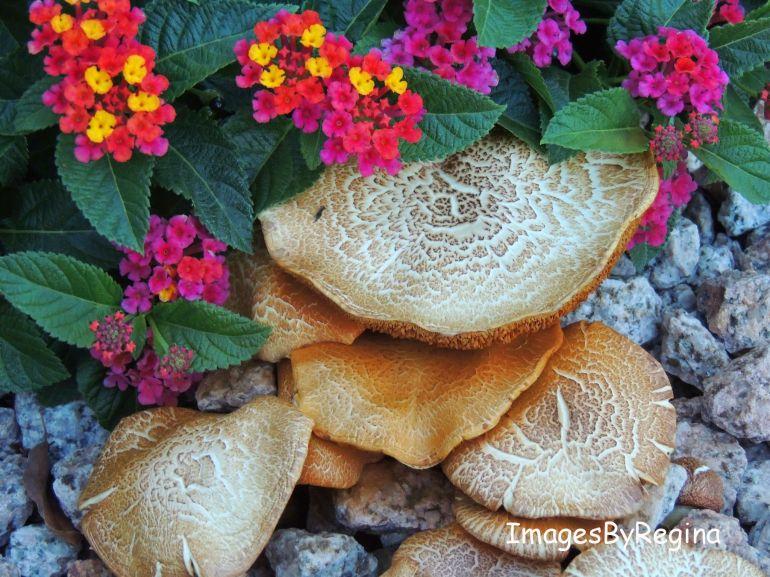 mushrooms2A