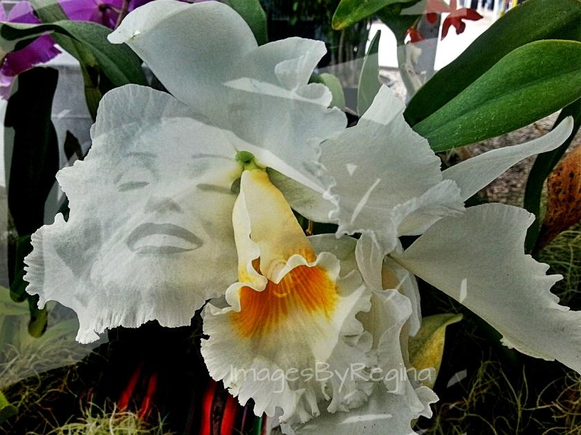 Marilyn Orchid