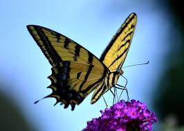 04.18.17butterfly